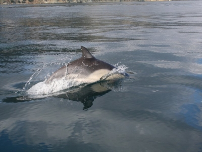 avalon dolphin